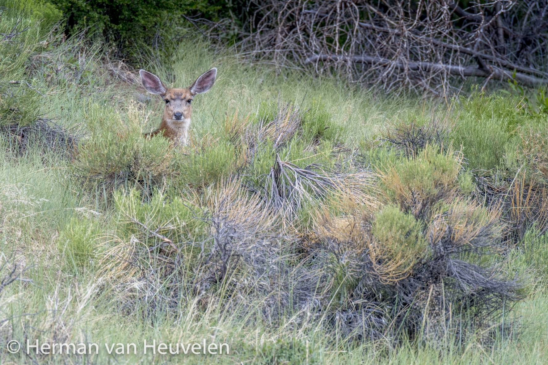 Deer, Great Sanddunes national Park, Colorado-1195